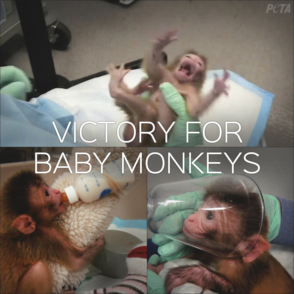 RT @peta: @pamfoundation VICTORY! @NIH announced they will stop experimenting on baby monkeys! https://t.co/WWUgRHTd2F https://t.co/CexHHSy…