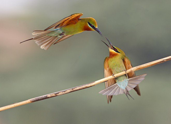 These gorgeous Blue-tailed Bee-eaters are our latest Photo of the Week. #birds #photography https://t.co/tCk0s9F3Fy https://t.co/YeRon4lEl8