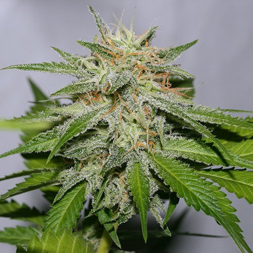 Strain Review: Victory Kush by Alpine Seeds - https://t.co/Ds04lrKIww #cannabis https://t.co/F3j758wEyR