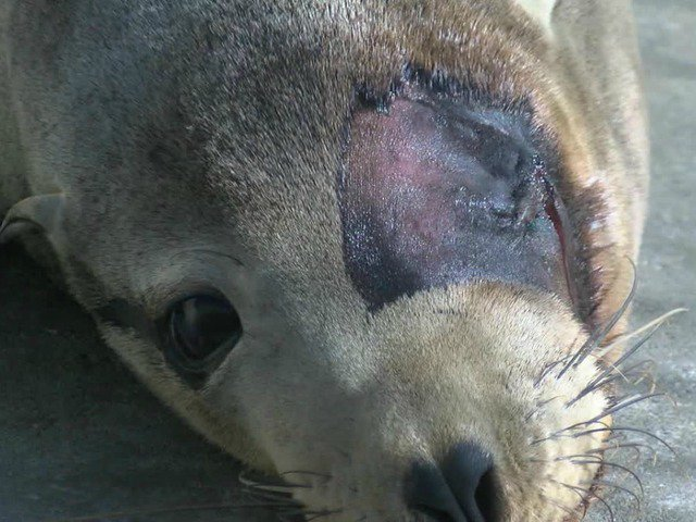 Already injured sea lion shot in face https://t.co/hdoyNGTbkp #sandiego https://t.co/qN0mXvxpRl