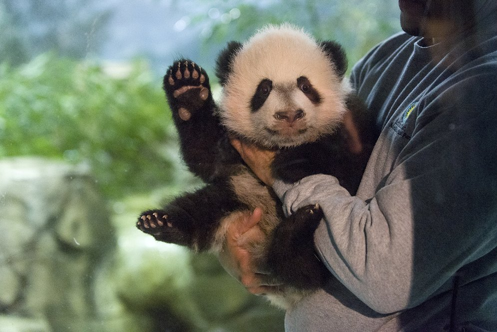 Giant panda cub Bei Bei made his media debut at @NationalZoo this morning. https://t.co/cQioTqTCCj https://t.co/9LDtMk4OwD