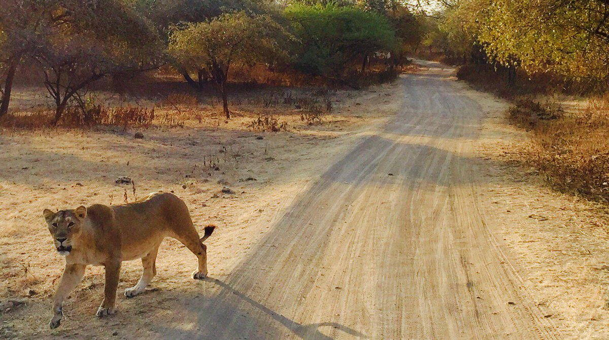 Bold and majestic, the first lioness I saw in the forests of Gir.   #india #gujarat #ttot #travel https://t.co/ylbPAydV93