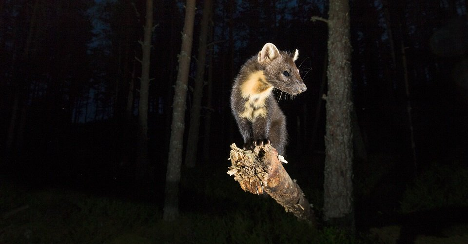 Pine marten by @PCairnsPhoto - enter a pic of #nature after dark in our winter photo comp: https://t.co/v2nvfw6DAA https://t.co/Al1LM5hndX