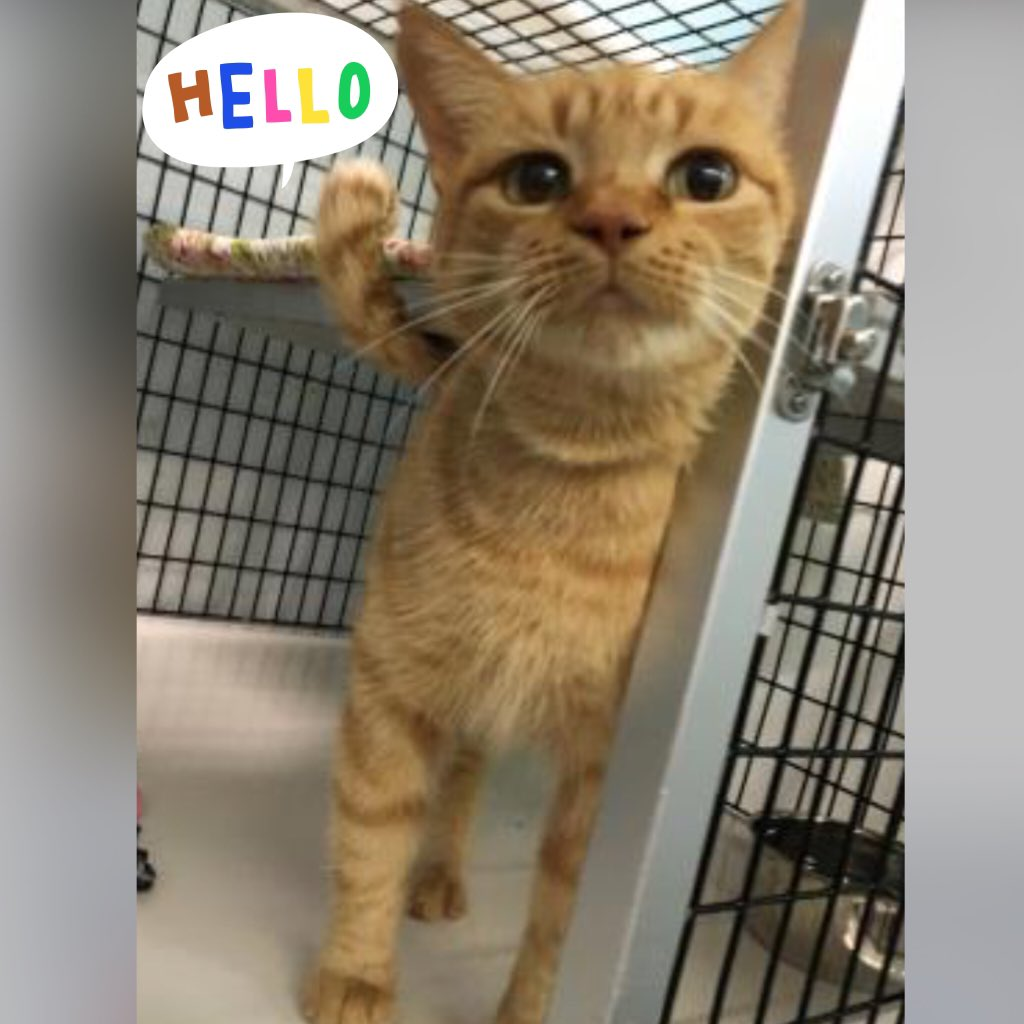 Adorbs Dolly Parton is waiting @ @Wash_Humane GA Ave, #DC! This sweet #cat is a ❤️love-bug! Open 12-7 ; $20.16 fee. https://t.co/9VKyyP4WOz