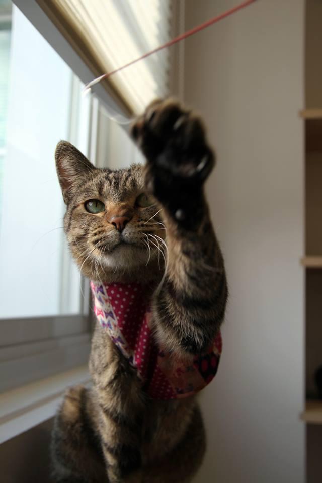 ご協力ありがとうございました♪12/8に迷い猫を保護し飼い主様を探していましたが、見つからなかった為、新たに里親さんを社内で募集したところ、ペピイお客様センターのスタッフのお家に迎えられる事になりました。 https://t.co/27yKv801Fr