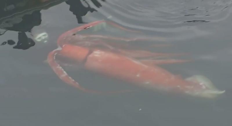 Giant Squid Sightings