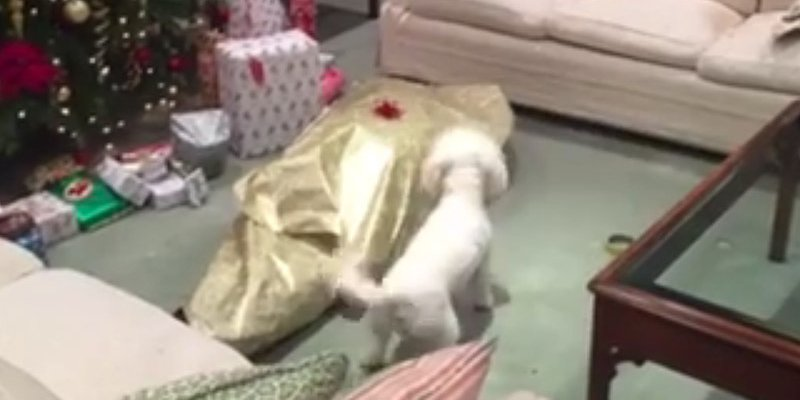 Dog loses all chill while opening his massive Christmas present