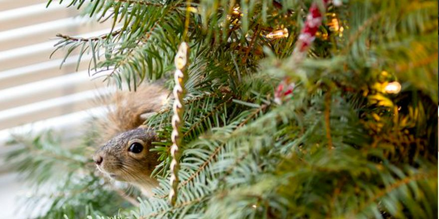 Scrappy squirrel is still living in a couple's Christmas tree