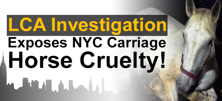 NEW YORK: Please Ban Horse-Drawn Carriages @BilldeBlasio @LC4A  #nyc  https://t.co/maS6kdK6vA https://t.co/8e1mBwYoX9