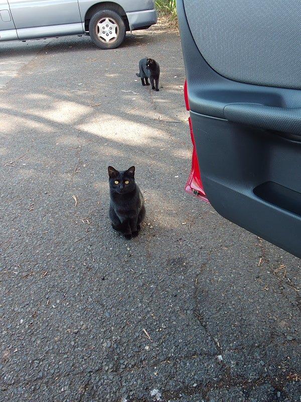 今日車で昼ご飯を食べてて外を見ると、黒猫がかしこそうな感じで見てたのだが、この前脚を尻尾でくるんと巻き付けるのがけっこうかわいいと思う。 https://t.co/2ciaTTD4C0