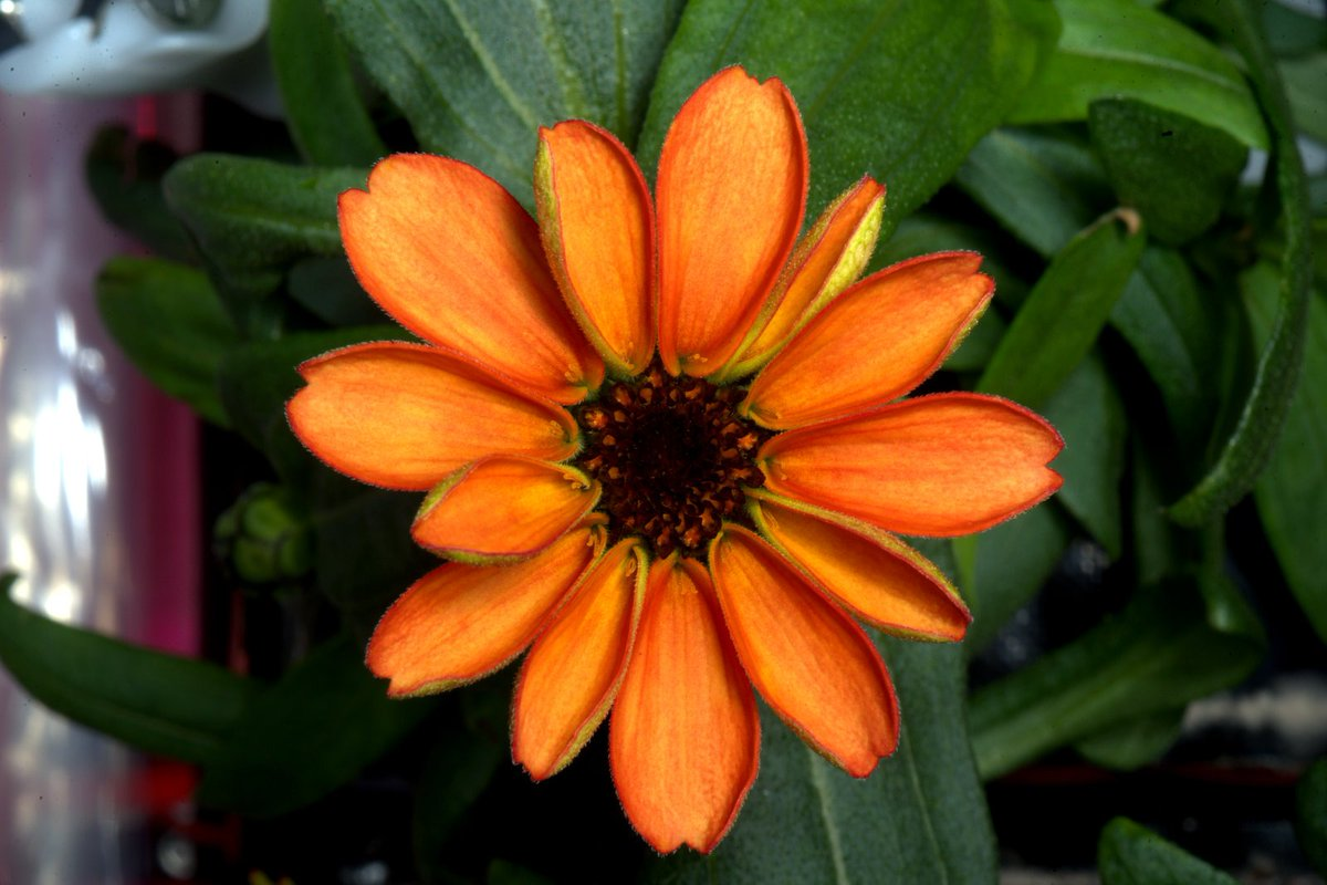 First ever flower grown in space makes its debut! #SpaceFlower #zinnia #YearInSpace https://t.co/2uGYvwtLKr