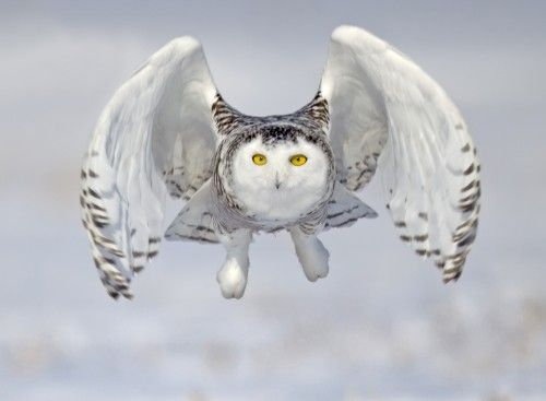 Snowy Owls cover image