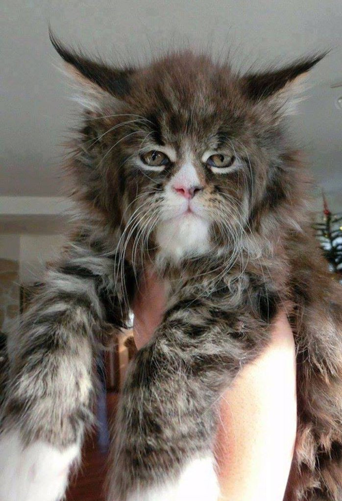 Looks like a man in a cat suit but is actually a Norweigen Forest/Maine Coone cross. https://t.co/du7vtFV3Tl