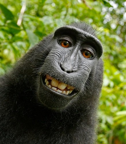 Court Finds Monkey Can't Own #Selfie Copyright - https://t.co/Oap2nJtru9 https://t.co/r0LCSSmhEq
