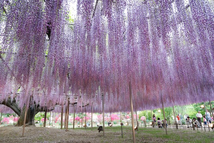 The most beautiful wisteria tree in the world is in Japan's Ashikaga Flower Park https://t.co/HlRJXzrCw4 https://t.co/03qENwvfiz