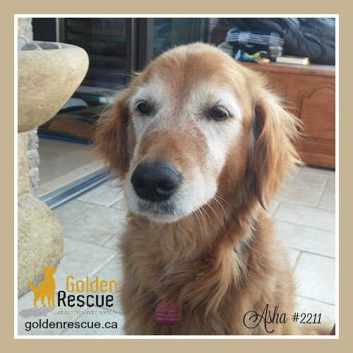 Sweet sugar faced Asha #2211 is looking for her #foreverhome! https://t.co/grnFCMyl8h #Montreal #Quebec https://t.co/LushTaNENC