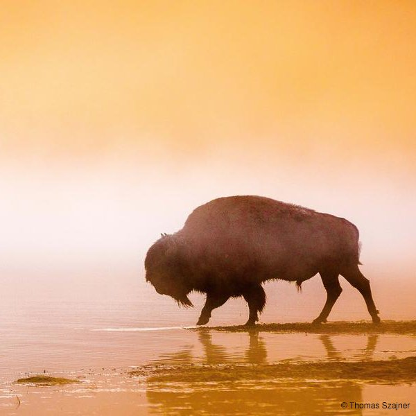 RT @World_Wildlife: Take action now! Help save the American Bison https://t.co/CKAY26UyKe https://t.co/SdOaZEAg8m