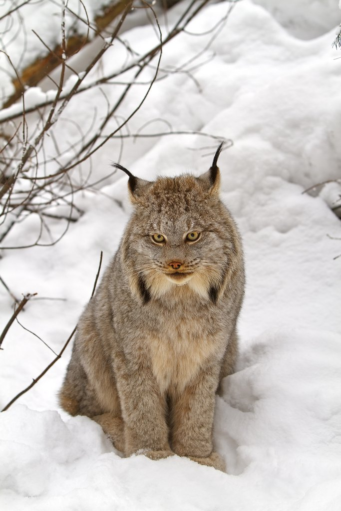 This Big Snow Cat Just Got Protected By a Federal Judge - (Canadian Lynx) https://t.co/EPN0tl4ZBM via @EnviroNewsTV https://t.co/4xXnm4cDDB