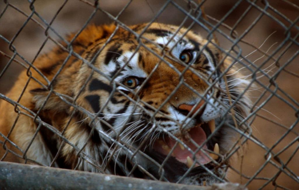 RT @EIAinvestigator: @IrinaGreenVoice: NGOs call for urgent action to end #tiger farming & trade https://t.co/hcL9rLFgfF #China https://t.c…