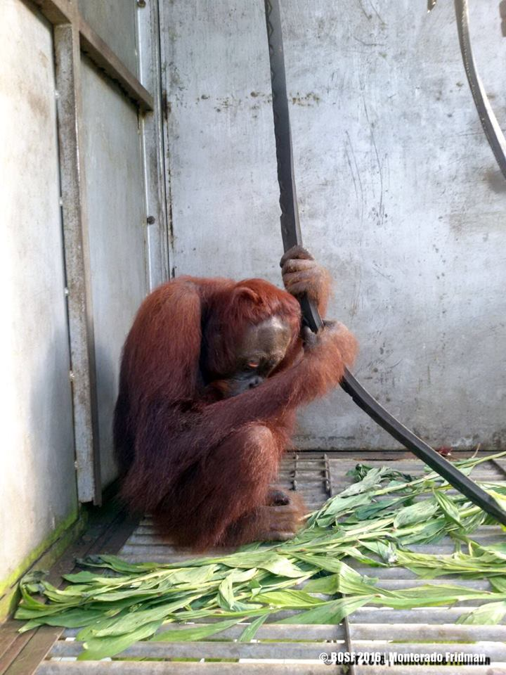 He was found with 13 shotgun pellets in his body. Rescued by BOS Foundation. Full story forthcoming. #orangutans https://t.co/u9ltkPyuJJ