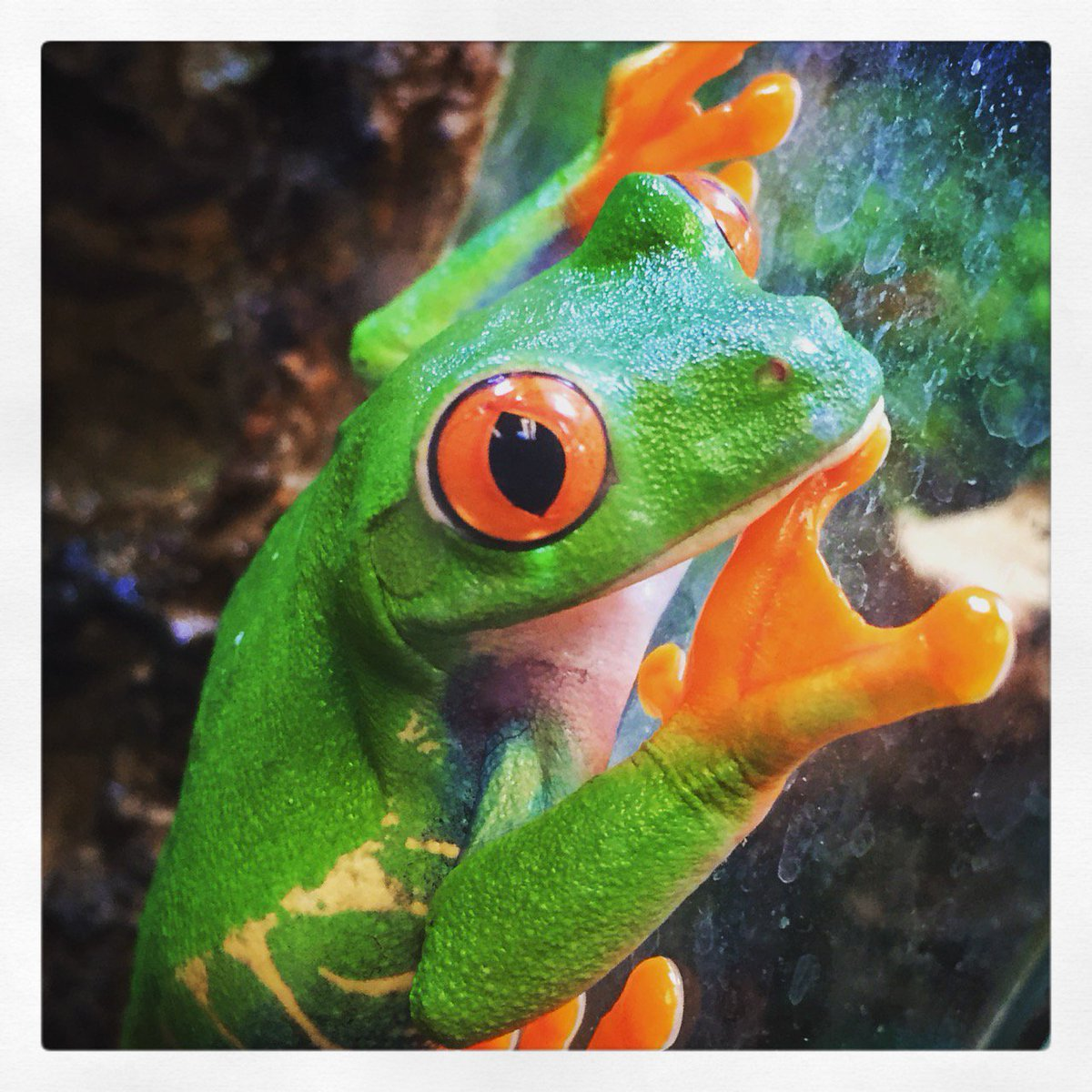 Our Red-eyed Tree #Frog (Agalychnis callidryas) keeps lookout at #ZooMed Labs. #Animal #Amphibian #Pet https://t.co/Hi3YpmWtZO