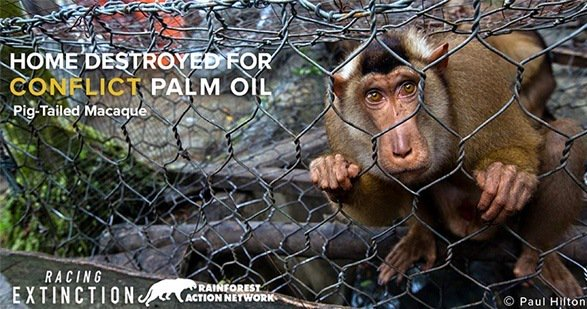 RT @EcoWatch: #PalmOil Industry Is Destroying Habitat of Critically Endangered Animals https://t.co/kJXekGKJx1 @RAN https://t.co/h4S8HHw491