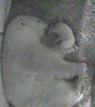 We're excited to announce that a polar bear cub was recently born here at the #ToledoZoo! https://t.co/r0TfjdUN9Y https://t.co/MCtmdJo5BP