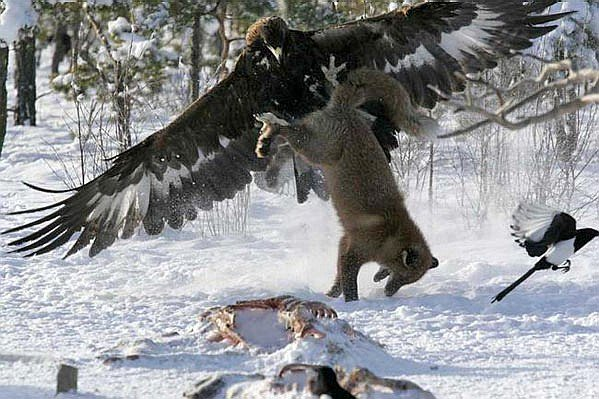 #Winterwatch Here's one of most famous Golden eagle vs fox images. Golden eagle = basically a flying Velociraptor. https://t.co/NV0UoqCSnr