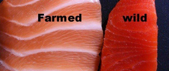 กินแซลมอนต้องรู้ไว้ ซ้ายคือเลี้ยง(อาหารสังเคราะห์ ไขมันเยอะ omega3น้อย), ขวาคือปลาในธรรมชาติ https://t.co/3jnkZdlcv5 https://t.co/pHDhN6nm2x