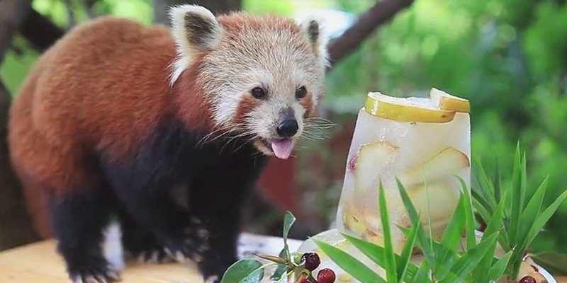 Look At This 16 Year Old Red Panda And Her Birthday Cake Scoopnest
