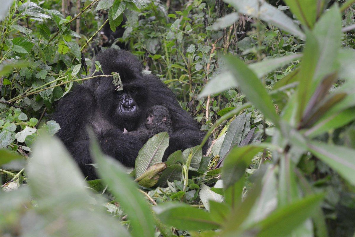 Fossey trackers just found newborn gorillas twins! Quite rare among mountain gorillas! Details tomorrow. https://t.co/XNLkbFm6Uv