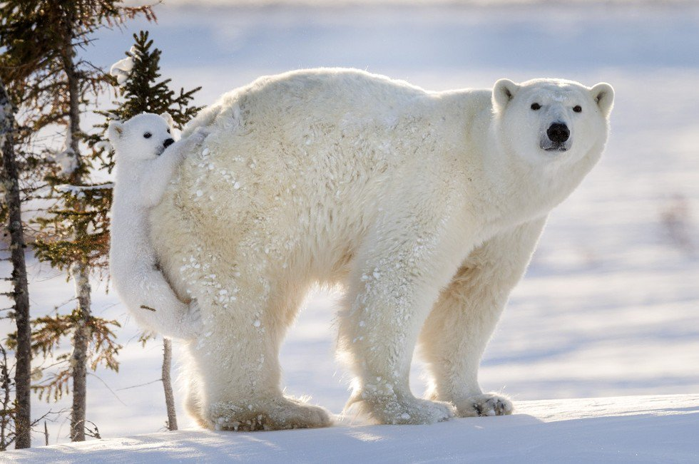 Baby polar bear braves the outdoors for the first time ever https://t.co/AU8r1LvPLE https://t.co/uBsBkw3GP5  https://t.co/nW91ytHIN8