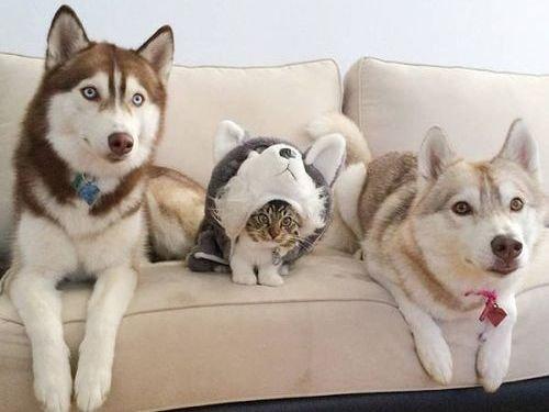 ハスキーが衰弱した子猫を発見、大事に育てた結果→「たぶん子猫は自分をハスキーだと思ってる」 : らばQ https://t.co/JhI9OhTj37 https://t.co/FS9SoiCBoT