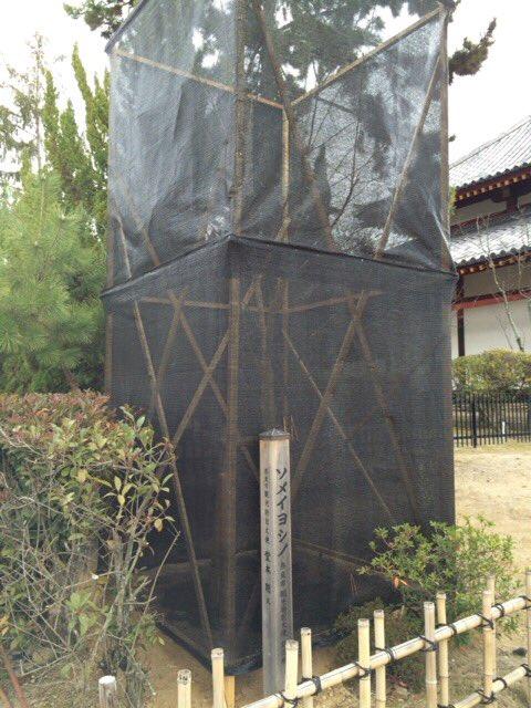 奈良・西大寺の境内(西大寺幼稚園の入口前)にある、堂本剛さんお手植えの桜2本。四王堂側のものが元気がなくなっているか、囲われて養生されてました。春までに復活するといいですね! https://t.co/gPjceVotmB