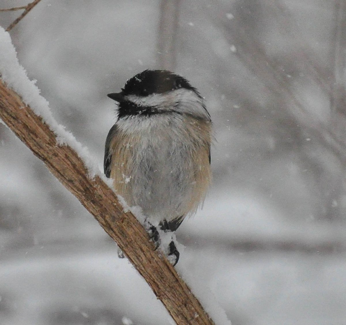 Snow birds!Black Capped Chicadee. https://t.co/Vg0w6M8fPO