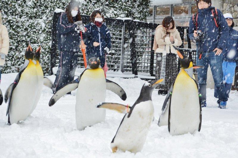 오늘 나가사키 수족관에서 펭귄들은 눈이 내려 너무 기뻐했다고 한다. 귀엽다.. ^^ (마이니치 신문) 눈으로 불편한 사람들은 피해가 없는 것을 바래요.. https://t.co/fdgD3wnPGu