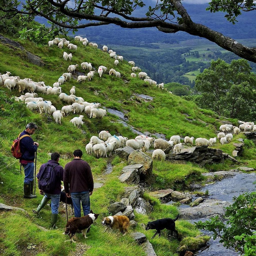 Bringing sheep down from the hills of Mt. Snowdon in Wales. The sheep dogs were in their element. I shot this for N… https://t.co/nfwpIVZPXg