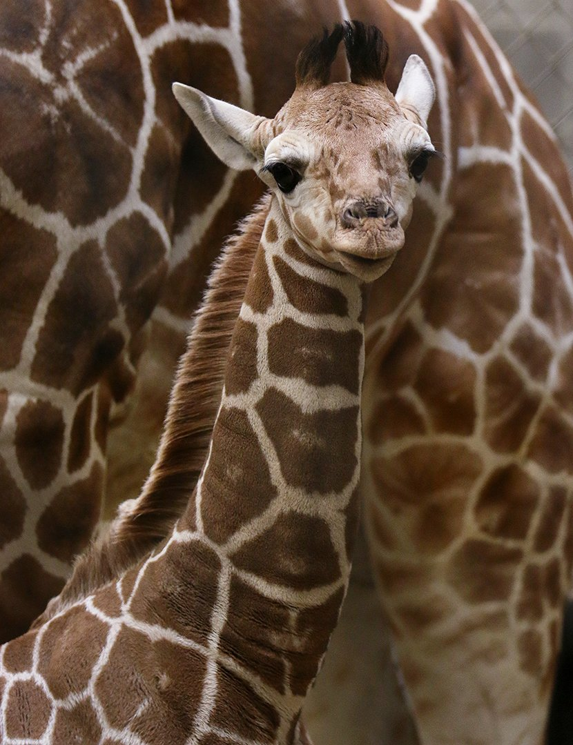 ADORABLE ALERT: Our new #ZooBorn is already 6 ft tall! Meet our male giraffe calf, born 1/9. https://t.co/AecQxfluH6 https://t.co/Q6BG50HCy5