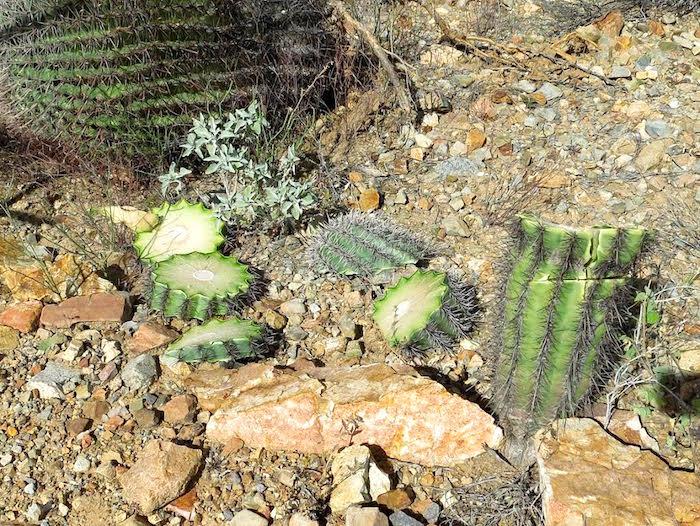 Vandals hacked up iconic saguaros at Saguaro National Park. @sejorg @NPCA  https://t.co/HVvpC4EKHr https://t.co/WWXJvofeRr