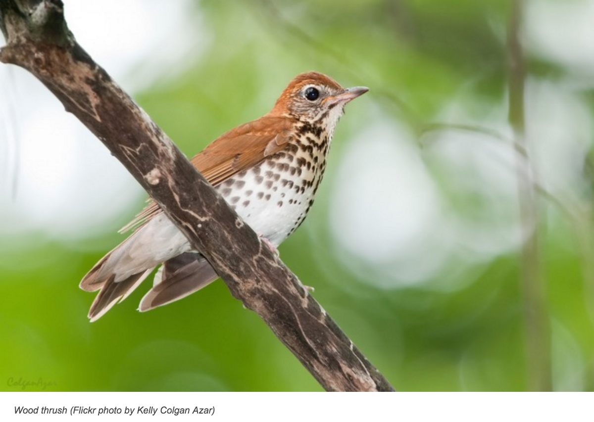 Scientists (SMBC!) Piece Together Puzzle of Dramatic Wood Thrush Decline https://t.co/JDsOdrnzJl #ornithology https://t.co/ZQtc7OBkXn