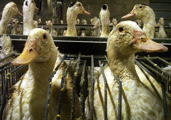 RT @PETAAsia: ICYMI: #Angel4Animals @pamfoundation urges French Assembly to BAN foie gras cruelty https://t.co/AmHbPLiEmN https://t.co/c1nH…