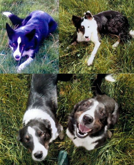STOLEN: 4 border collies from Cairnie, Huntly. 1 male, 3 female.Taken bet/n 1930 27/1 & 7am 28/1. Call 101 with info https://t.co/0XYliUCEzo