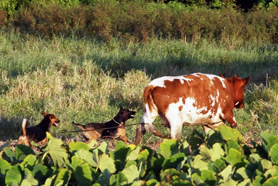 Attack on cow brings warning on dog problem