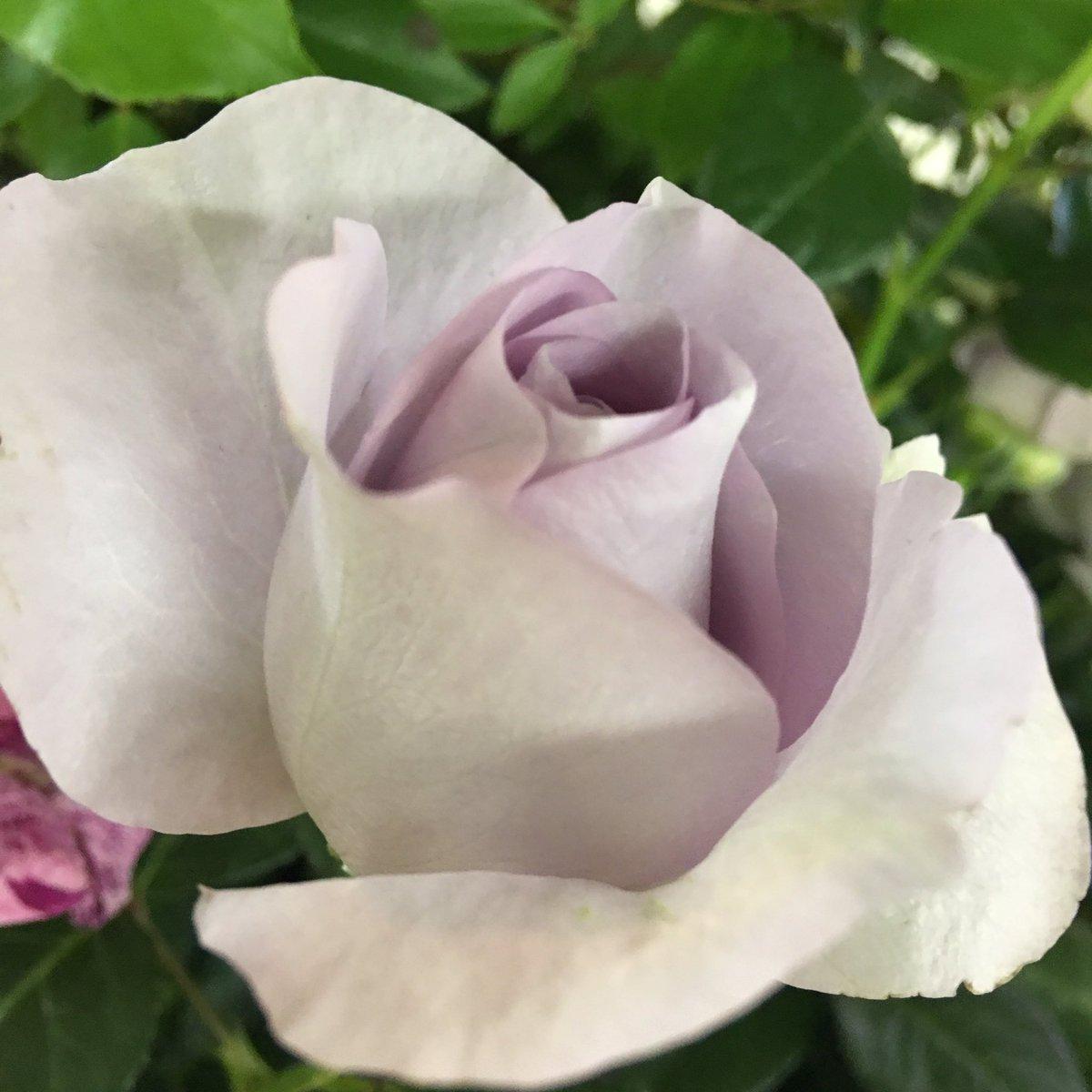 こんな色の薔薇見たらガラスの仮面思い出しちゃう世代(*・γ・)