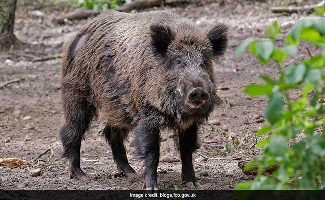 British Ambassador Chased By Wild Boar In Austria