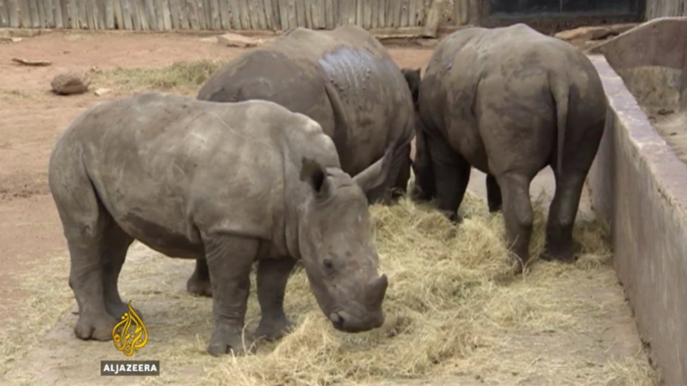 South Africa: What next for rhinos after lifting of horns trade ban?