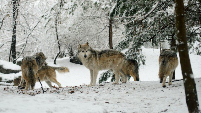 200 years later, wolf pack spotted in Denmark