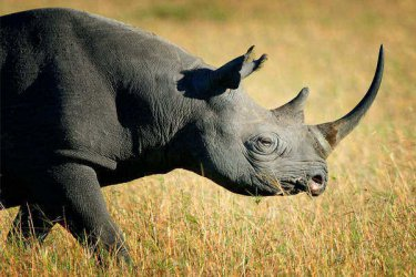 Rwanda brings rhinos back to boost tourism