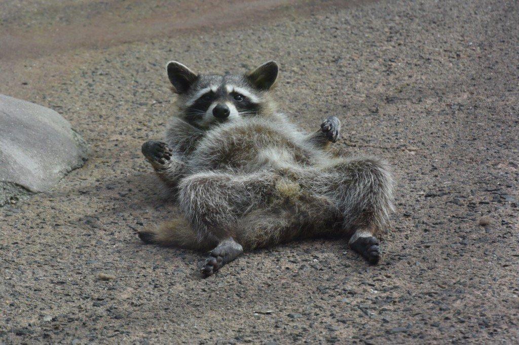 【朗報】 アライグマ可愛すぎワロタ これが害獣で駆除対対象とかマジかよ [無断転載禁止]©2ch.net [819818695]YouTube動画>9本 ->画像>97枚