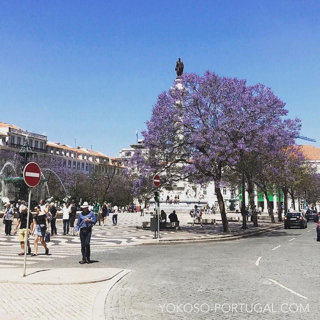 test ツイッターメディア - ロシオ広場のジャカランダ。今年は例年より10日ほど早く咲き始めています。今週が見頃です。リスボンのジャカランダマップは、こちらから。 https://t.co/aummysW0v1 #リスボン #ポルトガル https://t.co/FZKw3oyTqY